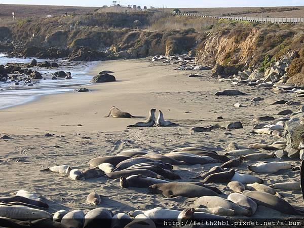 Elephant Seal 海獅 ~ 在求偶示愛嗎?