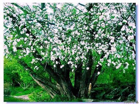 一顆開花的樹