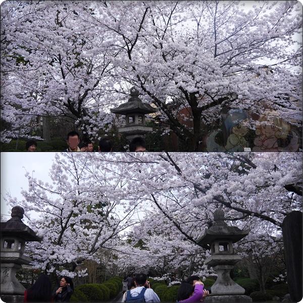 興正寺本廟.盛開的櫻花