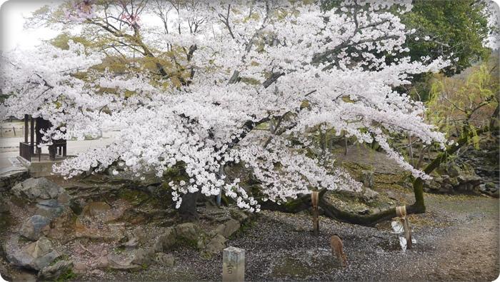 盛開的櫻花樹&一隻鹿