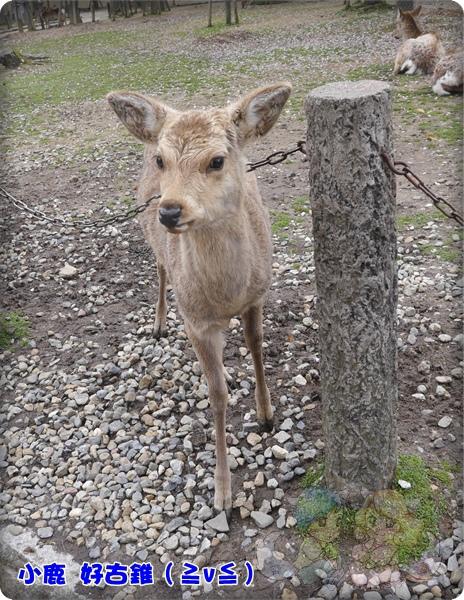 小鹿超古錐的,好想抱回家養(喂!)