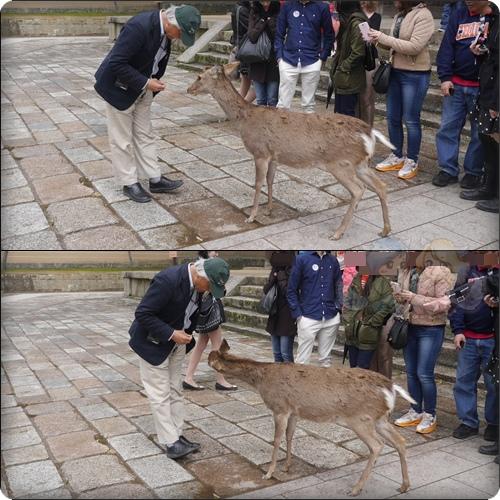 日本導遊在用鹿仙貝教那隻鹿敬禮XDD