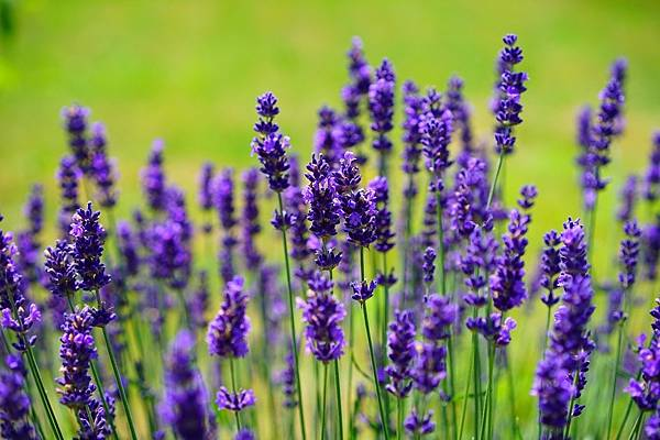 lavender-1117275_1280.jpg