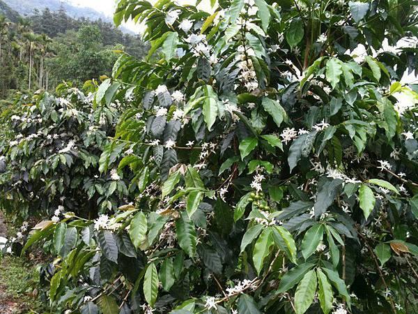 阿里山熱帶舞曲_咖啡樹(開花)