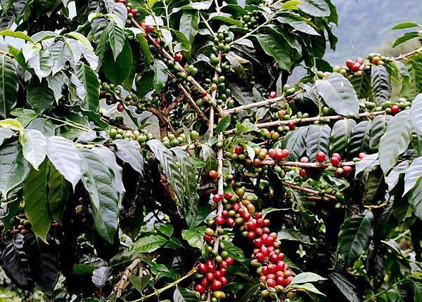 阿里山熱帶舞曲_咖啡樹