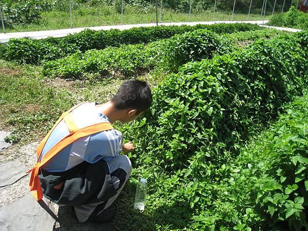 學員於菜園採菜.JPG