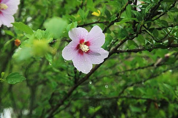 雨中花_8783