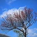 陽明山.竹子湖.海竽+櫻花_7910