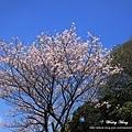 陽明山.竹子湖.海竽+櫻花_7984N