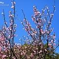 陽明山.竹子湖.海竽+櫻花_8041