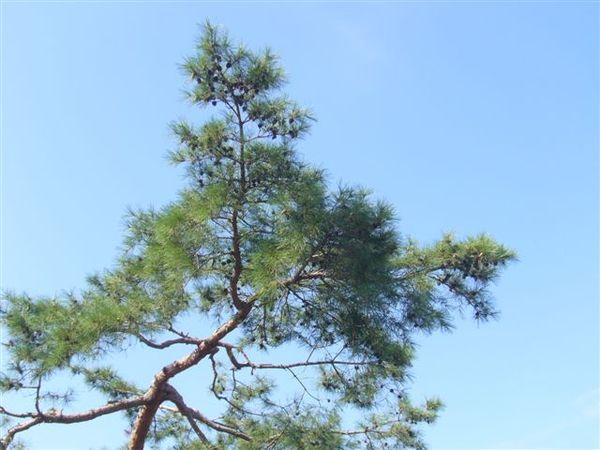 這是景福宮的樹喔~XD