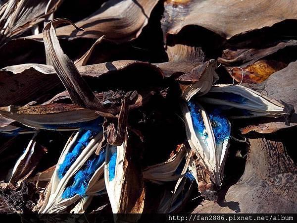 旅人蕉高掛種子居然----包覆美麗土耳其藍