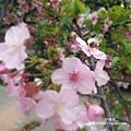 新竹公園 櫻花 4.jpg