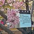 新竹公園 櫻花 6.jpg