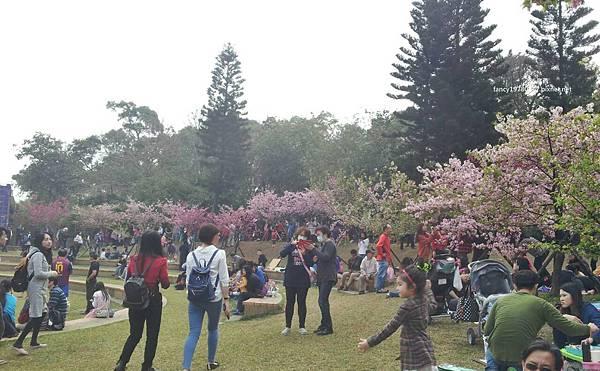 新竹公園 櫻花.jpg
