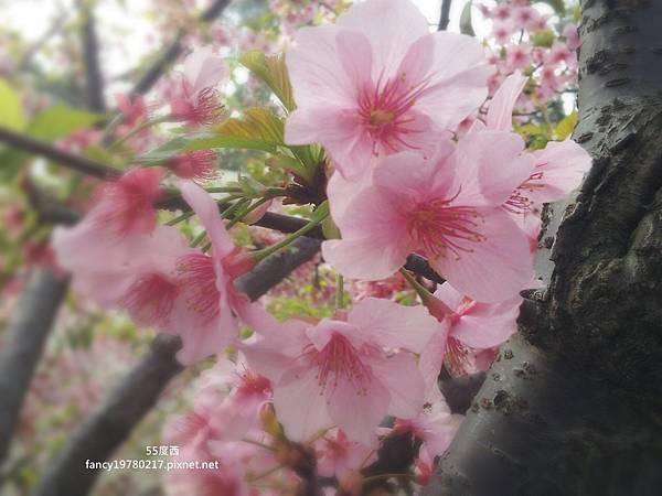 新竹公園 櫻花3.jpg