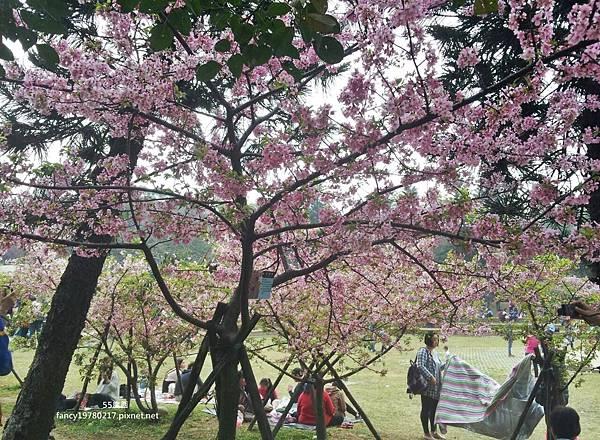 新竹公園 櫻花8.jpg