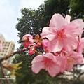 新竹公園 櫻花10.jpg