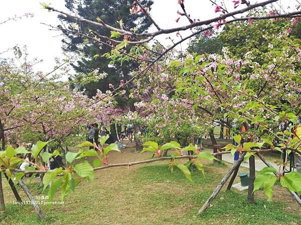 新竹公園 賞櫻花11.jpg