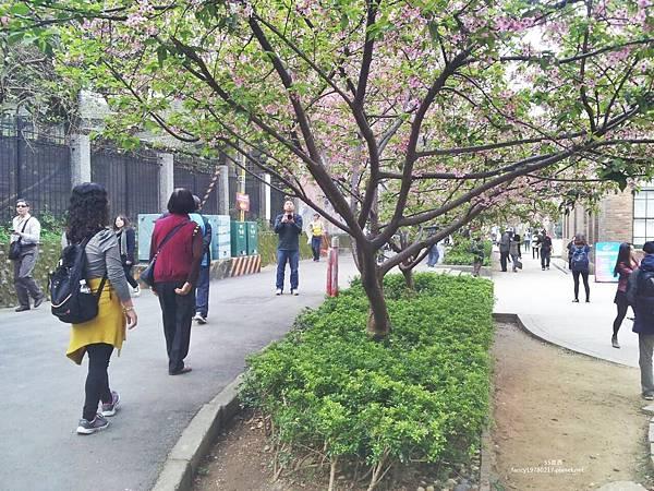 新竹公園 櫻花16.jpg