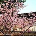 新竹公園 賞櫻花12.jpg