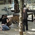 清邁 Tiger Kingdom.jpg