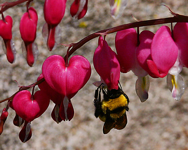 1944Bee_On_Bleeding_Heart.jpg