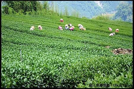 阿里山隙頂茶葉07.jpg