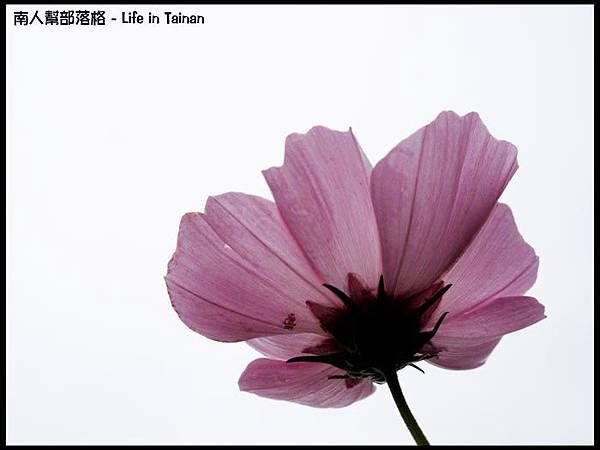 台南台糖花海-3.jpg