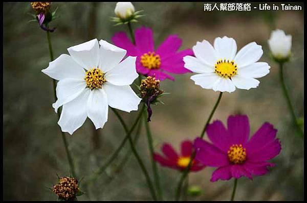 台南台糖花海-08