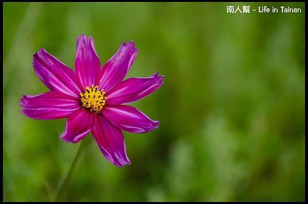 2013安定花海節-05