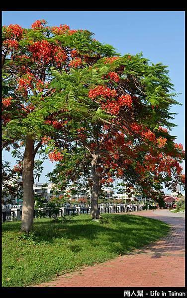 安平運河旁的鳳凰樹-01