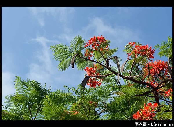 安平運河旁的鳳凰樹-02