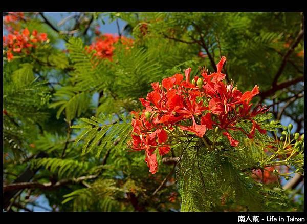 安平運河旁的鳳凰樹-04