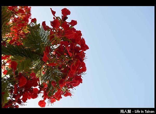 安平運河旁的鳳凰樹-09