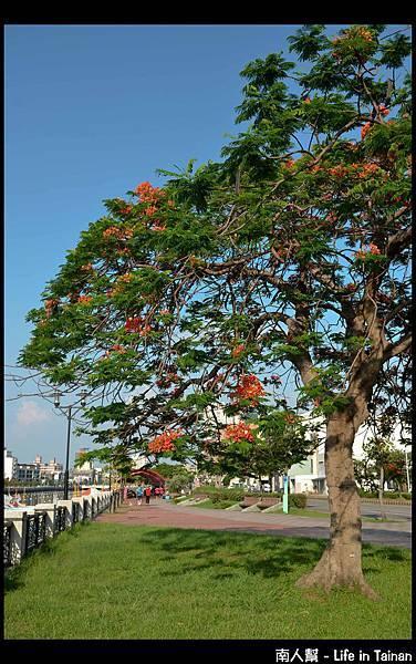 安平運河旁的鳳凰樹-11