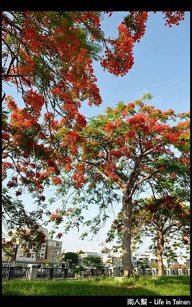 安平運河旁的鳳凰樹-13