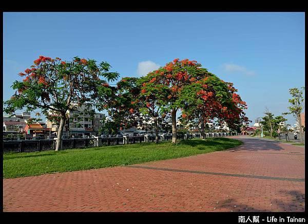 安平運河旁的鳳凰樹-16