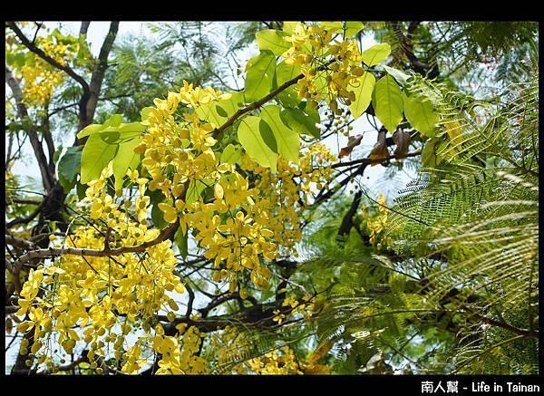 林森路阿勃勒樹-09