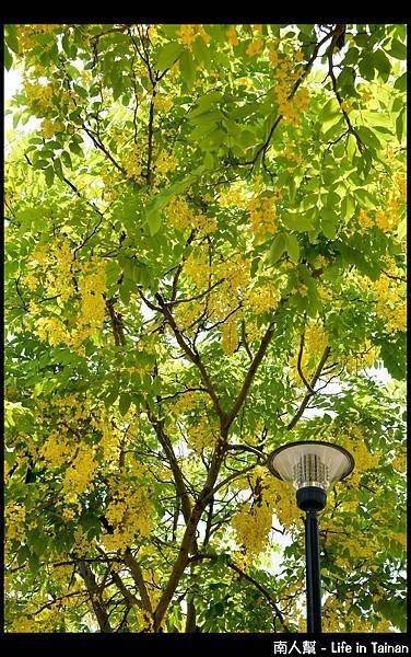 林森路阿勃勒樹-11