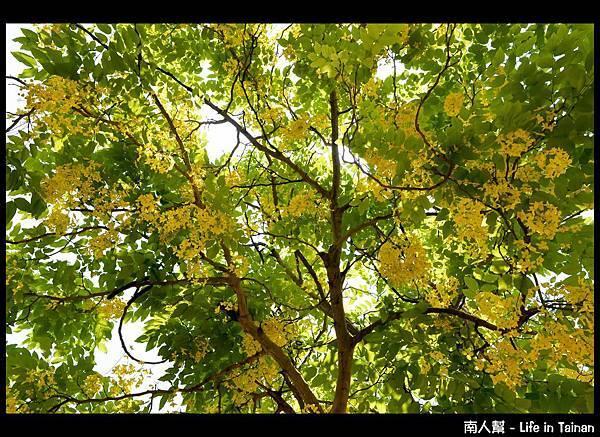 林森路阿勃勒樹-12
