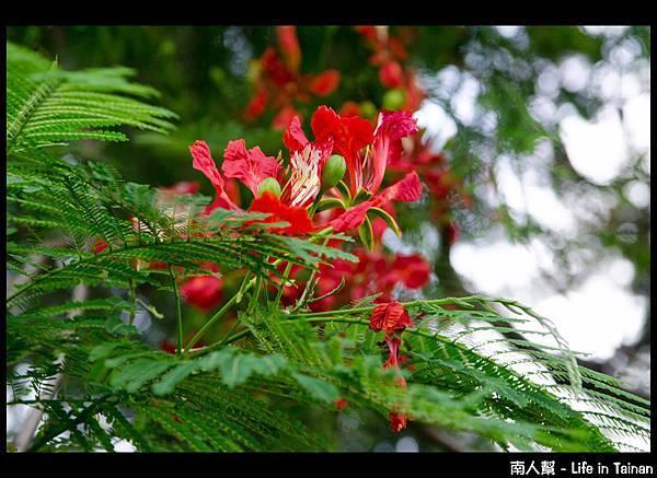巴克禮公園-鳳凰樹
