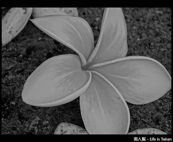 漁光島雞蛋花-03