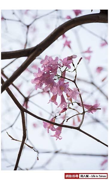 紫紅風鈴木-03.jpg
