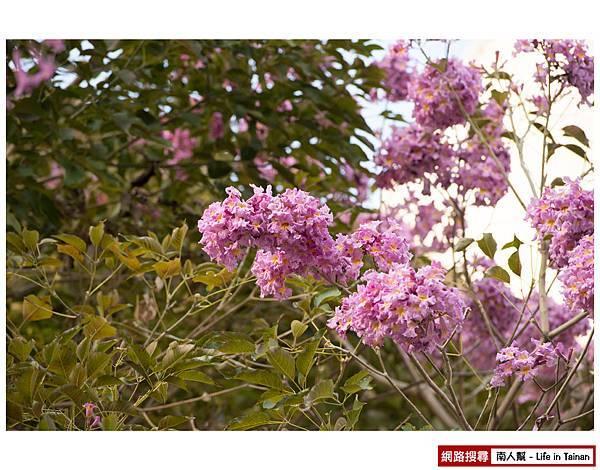 紫紅風鈴木-04.jpg