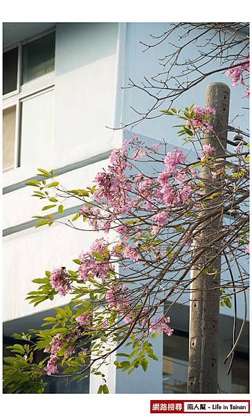 紫紅風鈴木-05.jpg