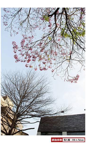 紫紅風鈴木-07.jpg