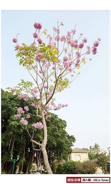紫紅風鈴木-08.jpg