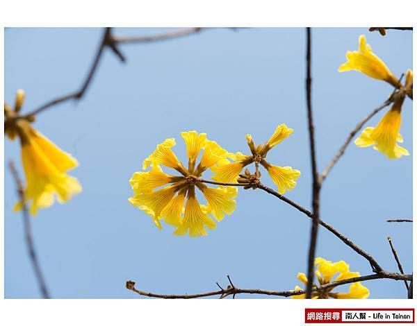 黃風鈴木-1.jpg
