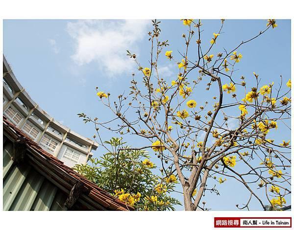 黃風鈴木-2.jpg
